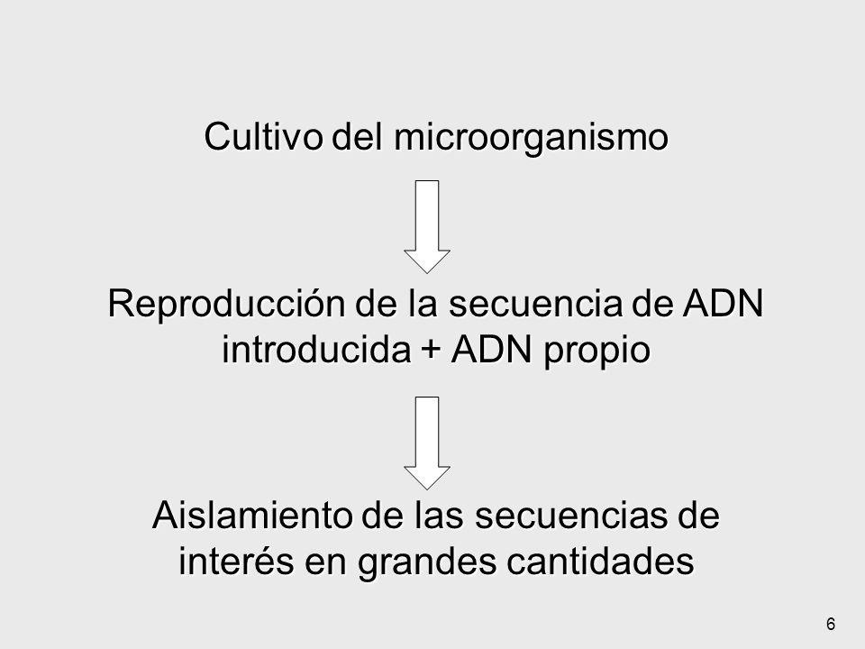 6 Cultivo del microorganismo Reproducción de la secuencia de ADN introducida + ADN propio Aislamiento de las secuencias de interés en grandes cantidad