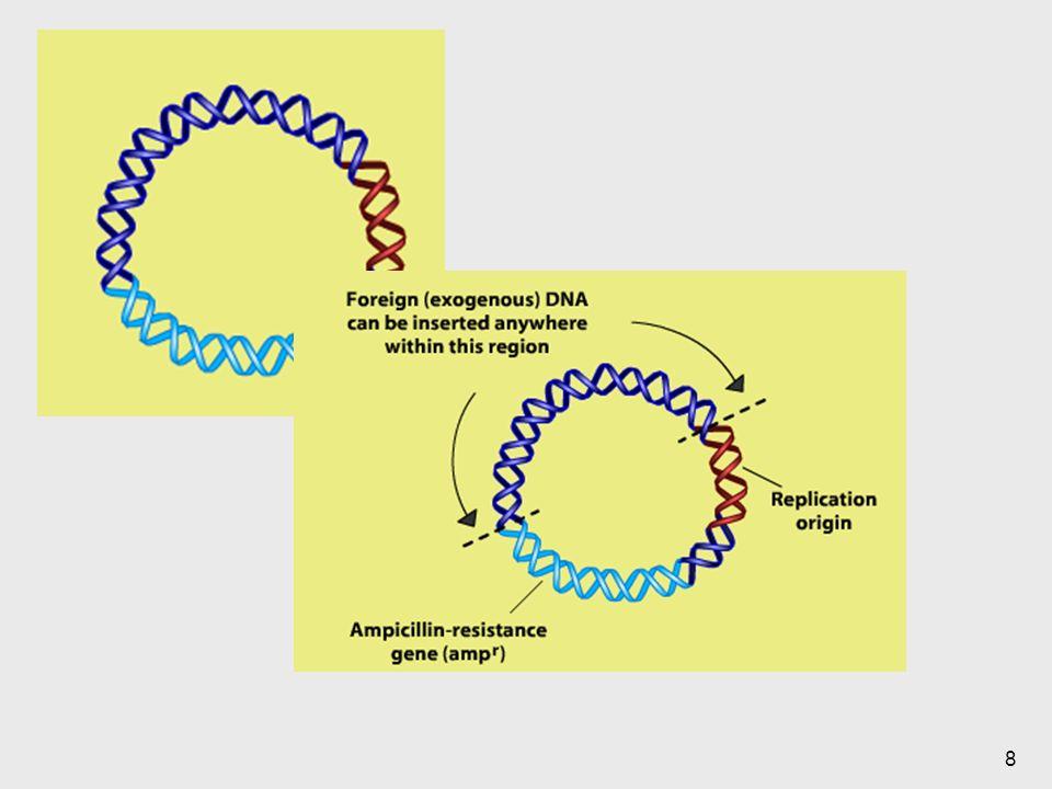29 Vectores Molécula de ADN que se puede replicar de forma autónoma en un huesped (célula bacteriana o levadura) del cual puede ser aislado de una forma pura para su subsecuente análisis.