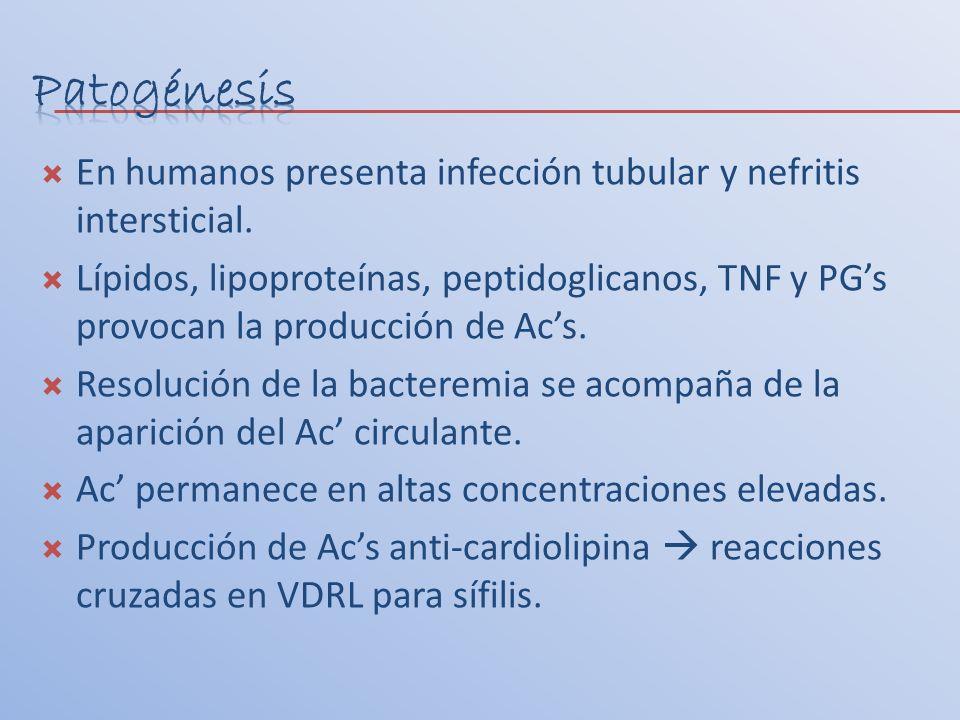 En humanos presenta infección tubular y nefritis intersticial. Lípidos, lipoproteínas, peptidoglicanos, TNF y PGs provocan la producción de Acs. Resol