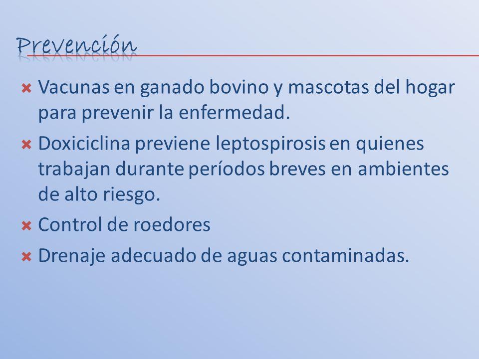 Vacunas en ganado bovino y mascotas del hogar para prevenir la enfermedad. Doxiciclina previene leptospirosis en quienes trabajan durante períodos bre