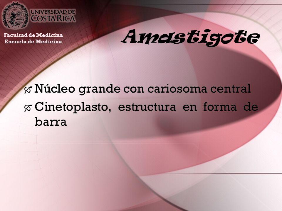 Amastigote Núcleo grande con cariosoma central Cinetoplasto, estructura en forma de barra Núcleo grande con cariosoma central Cinetoplasto, estructura