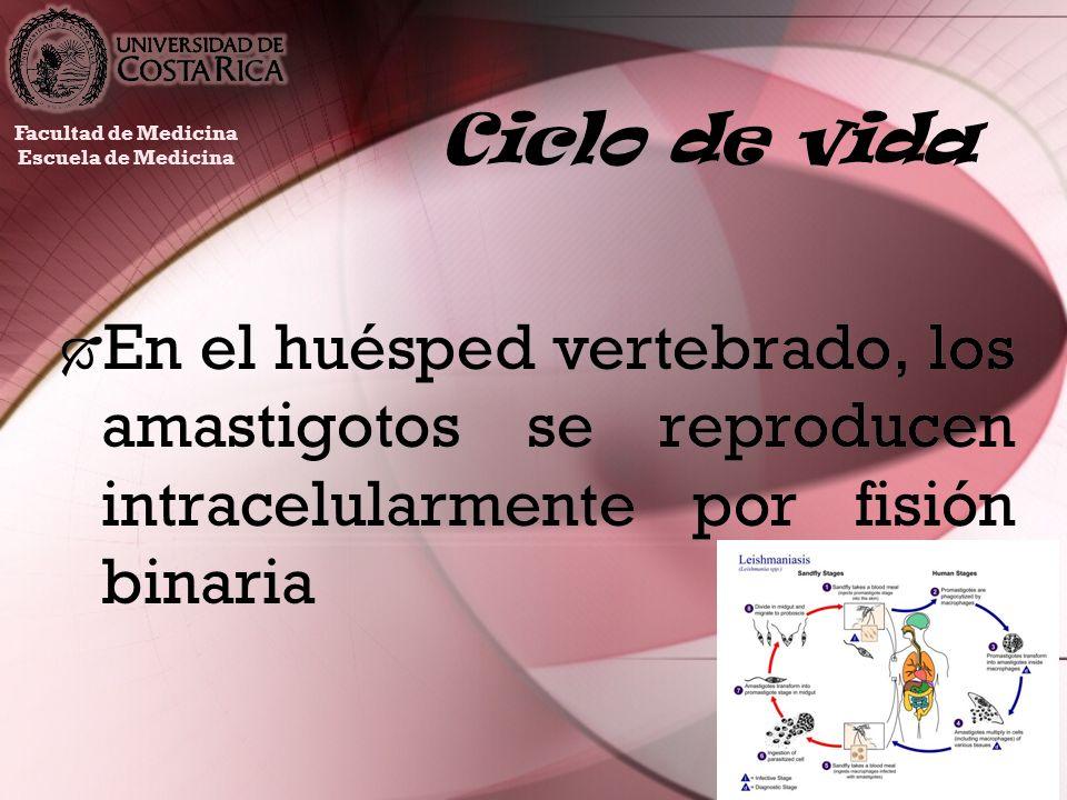 Ciclo de vida En el huésped vertebrado, los amastigotos se reproducen intracelularmente por fisión binaria Facultad de Medicina Escuela de Medicina