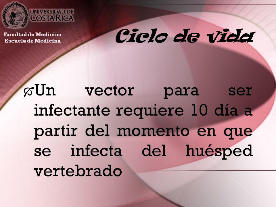 Ciclo de vida Un vector para ser infectante requiere 10 día a partir del momento en que se infecta del huésped vertebrado Facultad de Medicina Escuela