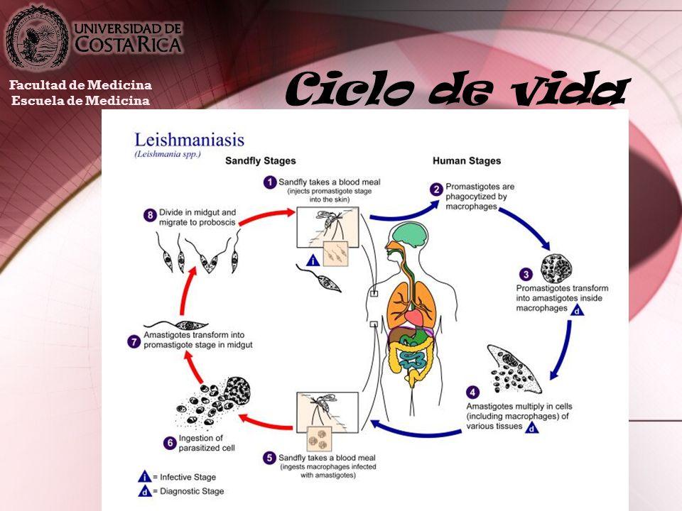 Ciclo de vida Facultad de Medicina Escuela de Medicina
