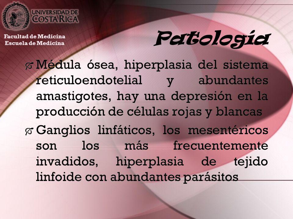 Patología Médula ósea, hiperplasia del sistema reticuloendotelial y abundantes amastigotes, hay una depresión en la producción de células rojas y blan