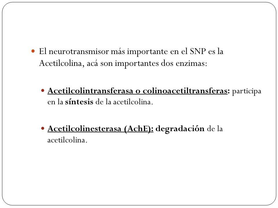 El neurotransmisor más importante en el SNP es la Acetilcolina, acá son importantes dos enzimas: Acetilcolintransferasa o colinoacetiltransferas: part