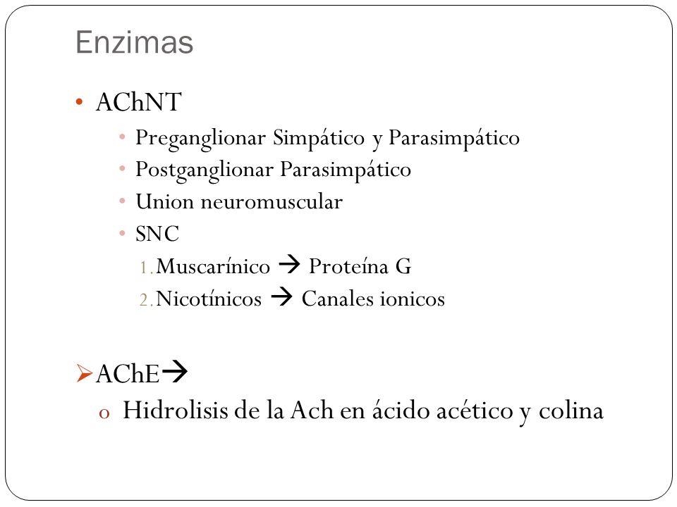 Enzimas AChNT Preganglionar Simpático y Parasimpático Postganglionar Parasimpático Union neuromuscular SNC 1. Muscarínico Proteína G 2. Nicotínicos Ca