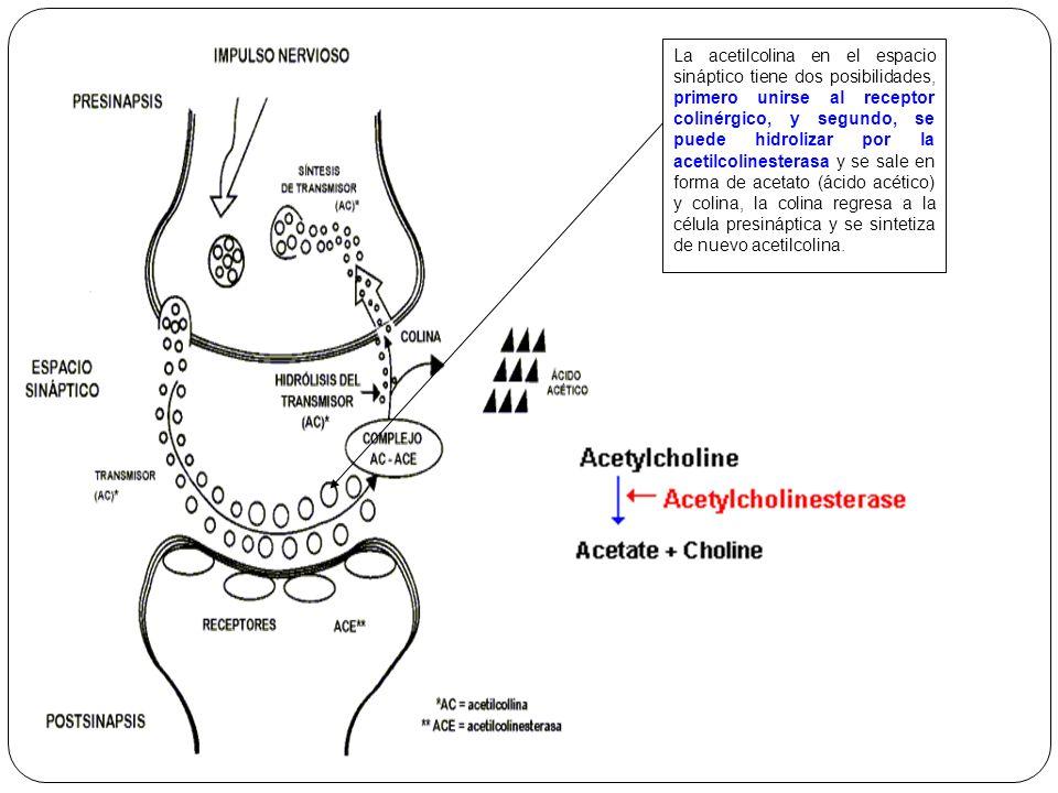 La acetilcolina en el espacio sináptico tiene dos posibilidades, primero unirse al receptor colinérgico, y segundo, se puede hidrolizar por la acetilc