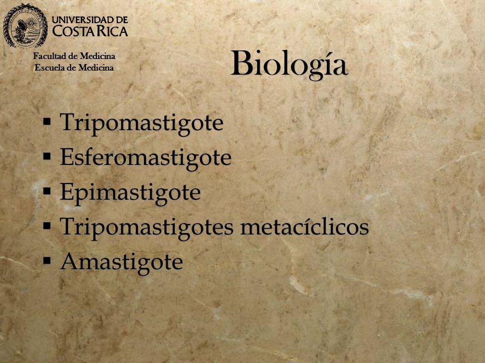 Biología Tripomastigote Esferomastigote Epimastigote Tripomastigotes metacíclicos Amastigote Tripomastigote Esferomastigote Epimastigote Tripomastigot