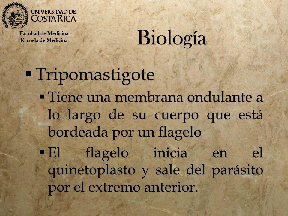 Biología Tripomastigote Tiene una membrana ondulante a lo largo de su cuerpo que está bordeada por un flagelo El flagelo inicia en el quinetoplasto y