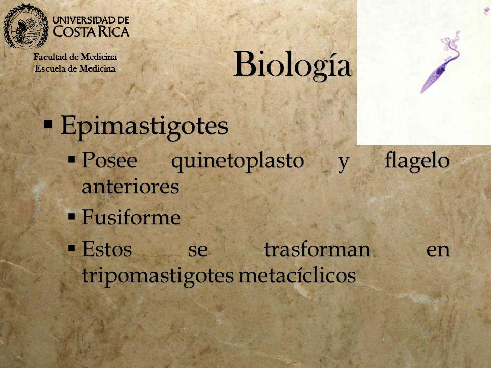 Biología Epimastigotes Posee quinetoplasto y flagelo anteriores Fusiforme Estos se trasforman en tripomastigotes metacíclicos Epimastigotes Posee quin