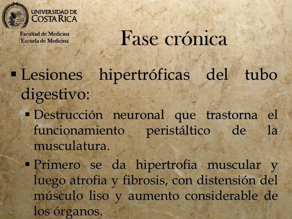 Fase crónica Lesiones hipertróficas del tubo digestivo: Destrucción neuronal que trastorna el funcionamiento peristáltico de la musculatura. Primero s
