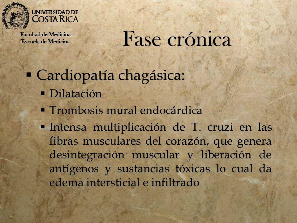 Fase crónica Cardiopatía chagásica: Dilatación Trombosis mural endocárdica Intensa multiplicación de T. cruzi en las fibras musculares del corazón, qu