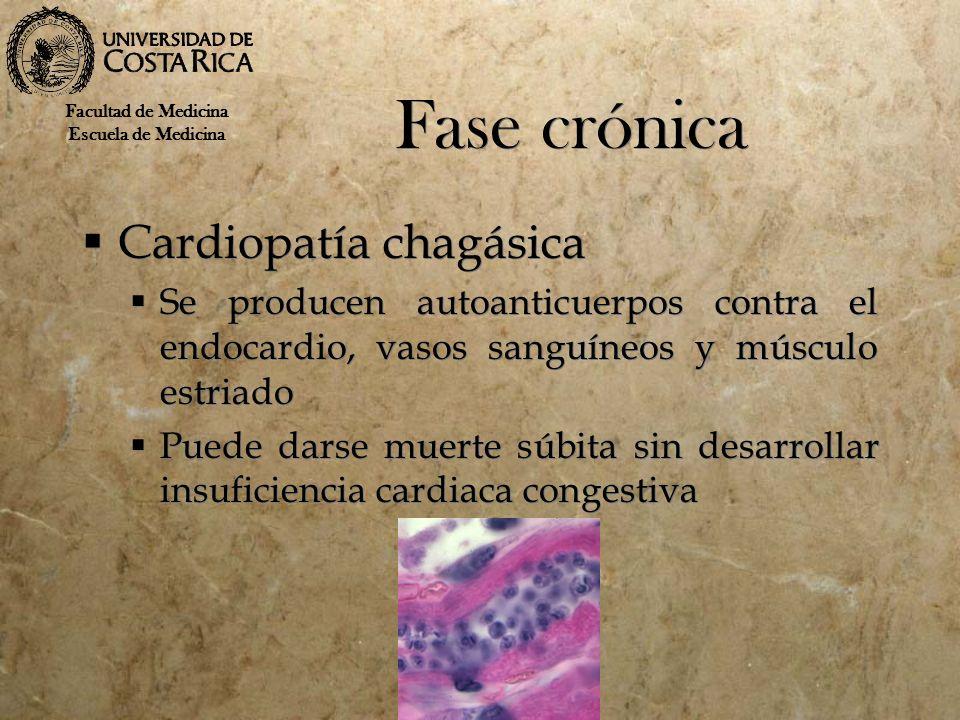 Fase crónica Cardiopatía chagásica Se producen autoanticuerpos contra el endocardio, vasos sanguíneos y músculo estriado Puede darse muerte súbita sin