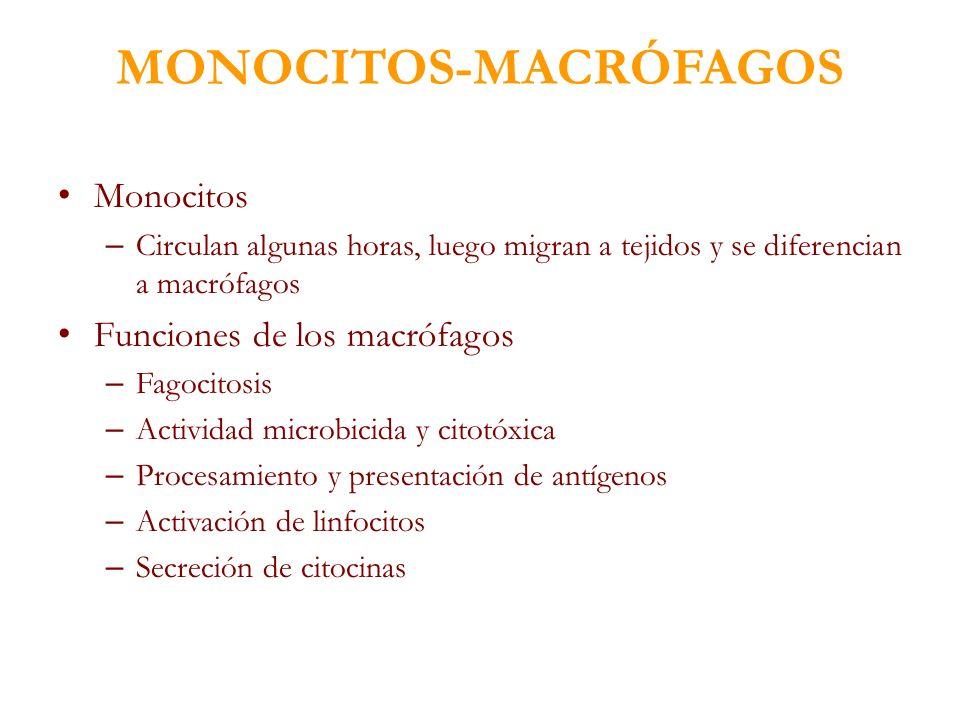 MONOCITOS-MACRÓFAGOS Monocitos – Circulan algunas horas, luego migran a tejidos y se diferencian a macrófagos Funciones de los macrófagos – Fagocitosi