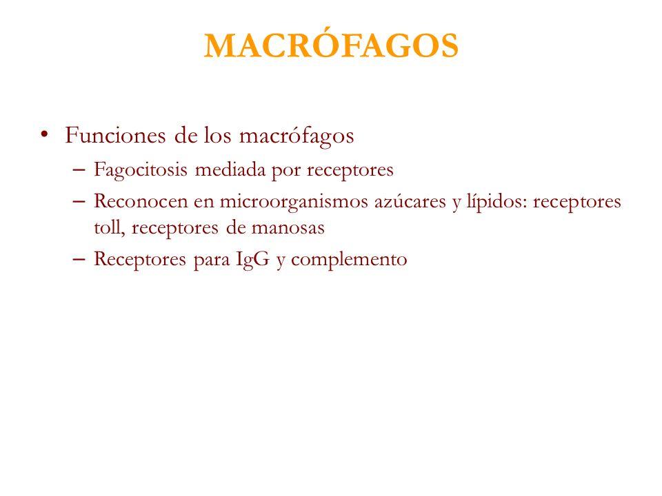 MACRÓFAGOS Funciones de los macrófagos – Fagocitosis mediada por receptores – Reconocen en microorganismos azúcares y lípidos: receptores toll, recept