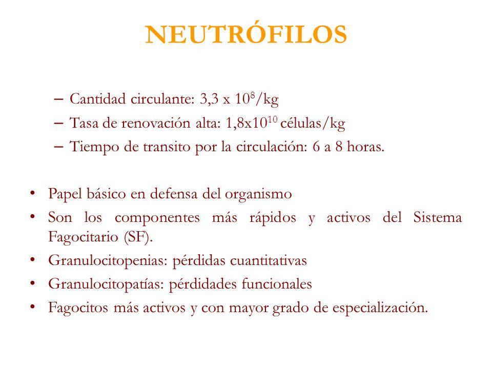 NEUTRÓFILOS – Cantidad circulante: 3,3 x 10 8 /kg – Tasa de renovación alta: 1,8x10 10 células/kg – Tiempo de transito por la circulación: 6 a 8 horas