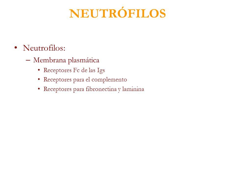 NEUTRÓFILOS Neutrofilos: – Membrana plasmática Receptores Fc de las Igs Receptores para el complemento Receptores para fibronectina y laminina