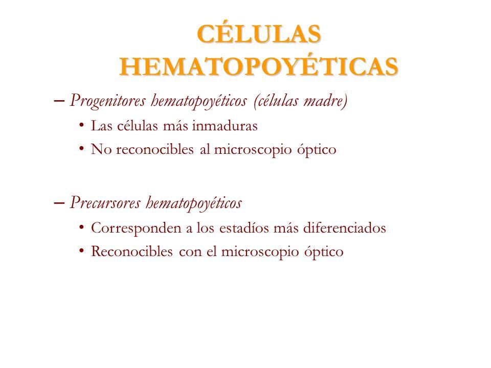 CÉLULAS HEMATOPOYÉTICAS – Progenitores hematopoyéticos (células madre) Las células más inmaduras No reconocibles al microscopio óptico – Precursores h