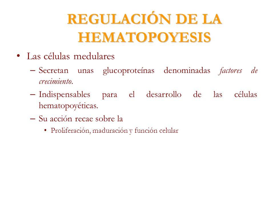 REGULACIÓN DE LA HEMATOPOYESIS Las células medulares – Secretan unas glucoproteínas denominadas factores de crecimiento. – Indispensables para el desa