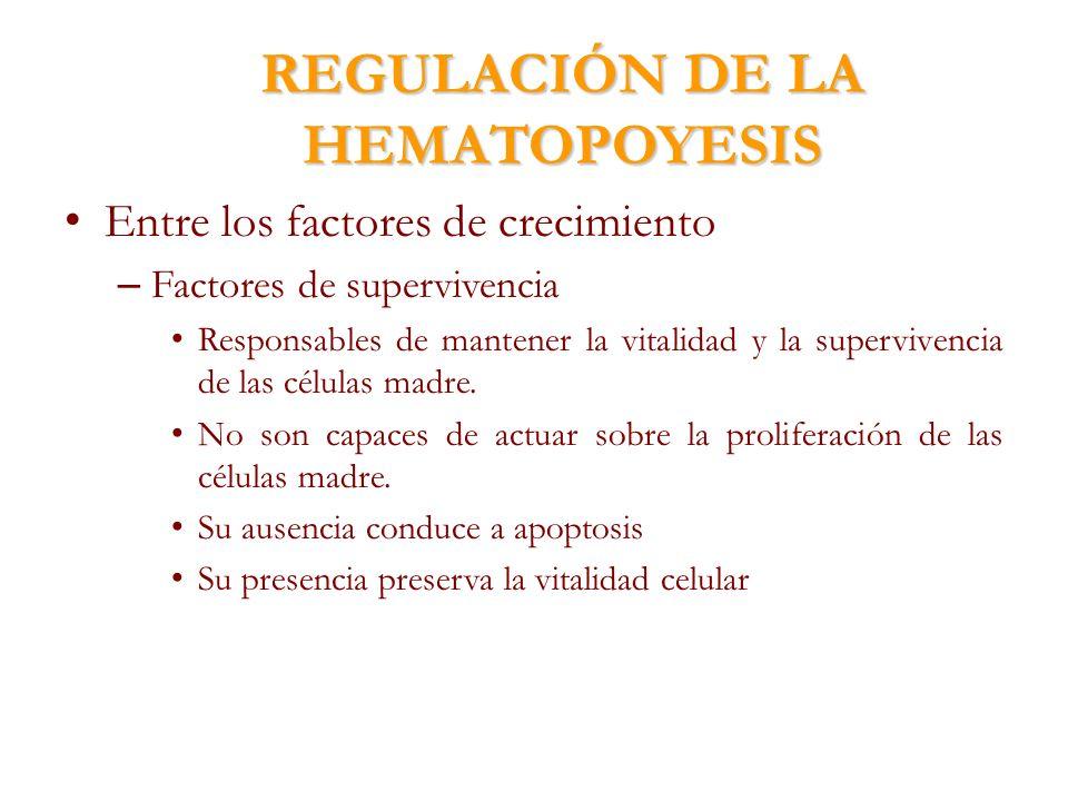 REGULACIÓN DE LA HEMATOPOYESIS Entre los factores de crecimiento – Factores de supervivencia Responsables de mantener la vitalidad y la supervivencia