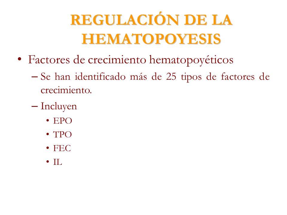 REGULACIÓN DE LA HEMATOPOYESIS Factores de crecimiento hematopoyéticos – Se han identificado más de 25 tipos de factores de crecimiento. – Incluyen EP