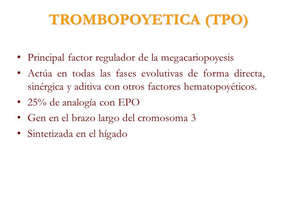 TROMBOPOYETICA (TPO) Principal factor regulador de la megacariopoyesis Actúa en todas las fases evolutivas de forma directa, sinérgica y aditiva con o