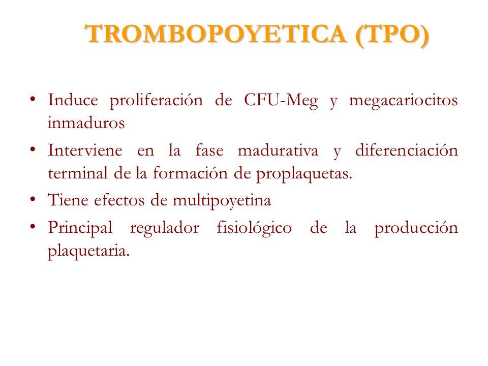 TROMBOPOYETICA (TPO) Induce proliferación de CFU-Meg y megacariocitos inmaduros Interviene en la fase madurativa y diferenciación terminal de la forma