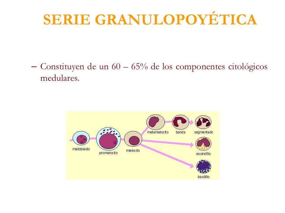SERIE GRANULOPOYÉTICA – Constituyen de un 60 – 65% de los componentes citológicos medulares.