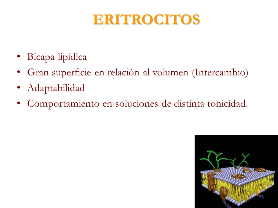 ERITROCITOS Bicapa lipídica Gran superficie en relación al volumen (Intercambio) Adaptabilidad Comportamiento en soluciones de distinta tonicidad.