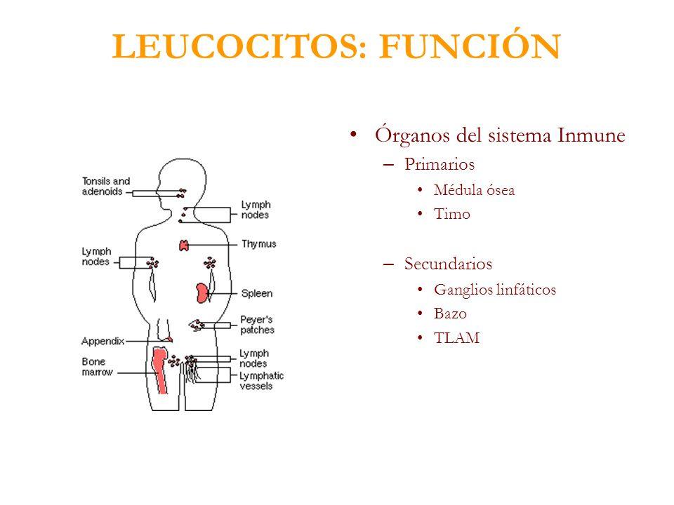 LEUCOCITOS: FUNCIÓN Órganos del sistema Inmune – Primarios Médula ósea Timo – Secundarios Ganglios linfáticos Bazo TLAM