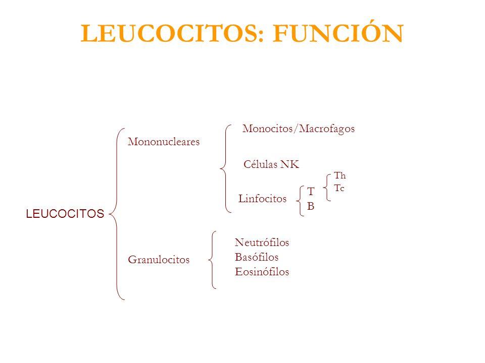 LEUCOCITOS: FUNCIÓN LEUCOCITOS Mononucleares Granulocitos Monocitos/Macrofagos Células NK Linfocitos TBTB Th Tc Neutrófilos Basófilos Eosinófilos