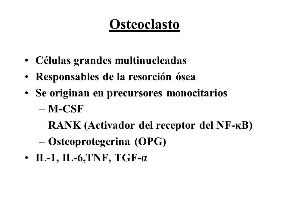 Células grandes multinucleadas Responsables de la resorción ósea Se originan en precursores monocitarios –M-CSF –RANK (Activador del receptor del NF-κ