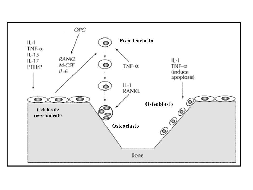 Células de revestimiento Osteoclasto Osteoblasto Preosteoclasto
