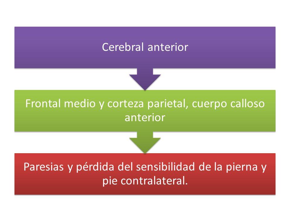 Paresias y pérdida del sensibilidad de la pierna y pie contralateral. Frontal medio y corteza parietal, cuerpo calloso anterior Cerebral anterior