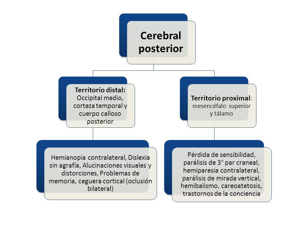 Cerebral posterior Territorio distal: Occipital medio, corteza temporal y cuerpo calloso posterior Hemianopia contralateral, Dislexia sin agrafía, Alu