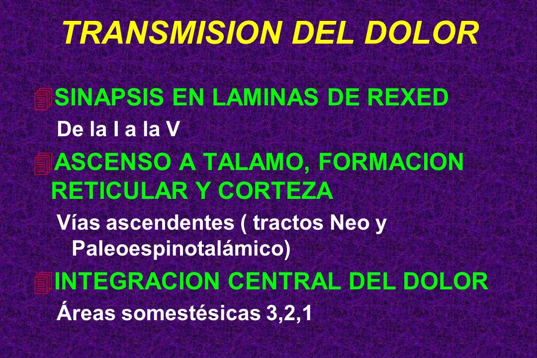 4SINAPSIS EN LAMINAS DE REXED De la I a la V 4ASCENSO A TALAMO, FORMACION RETICULAR Y CORTEZA Vías ascendentes ( tractos Neo y Paleoespinotalámico) 4I