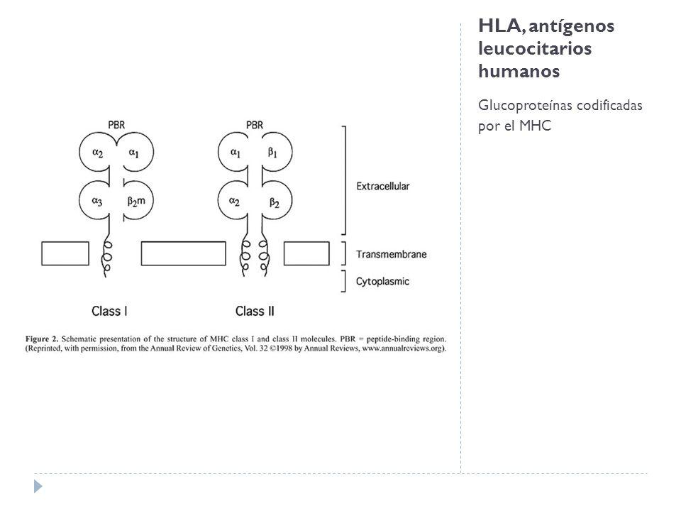HLA, antígenos leucocitarios humanos Glucoproteínas codificadas por el MHC