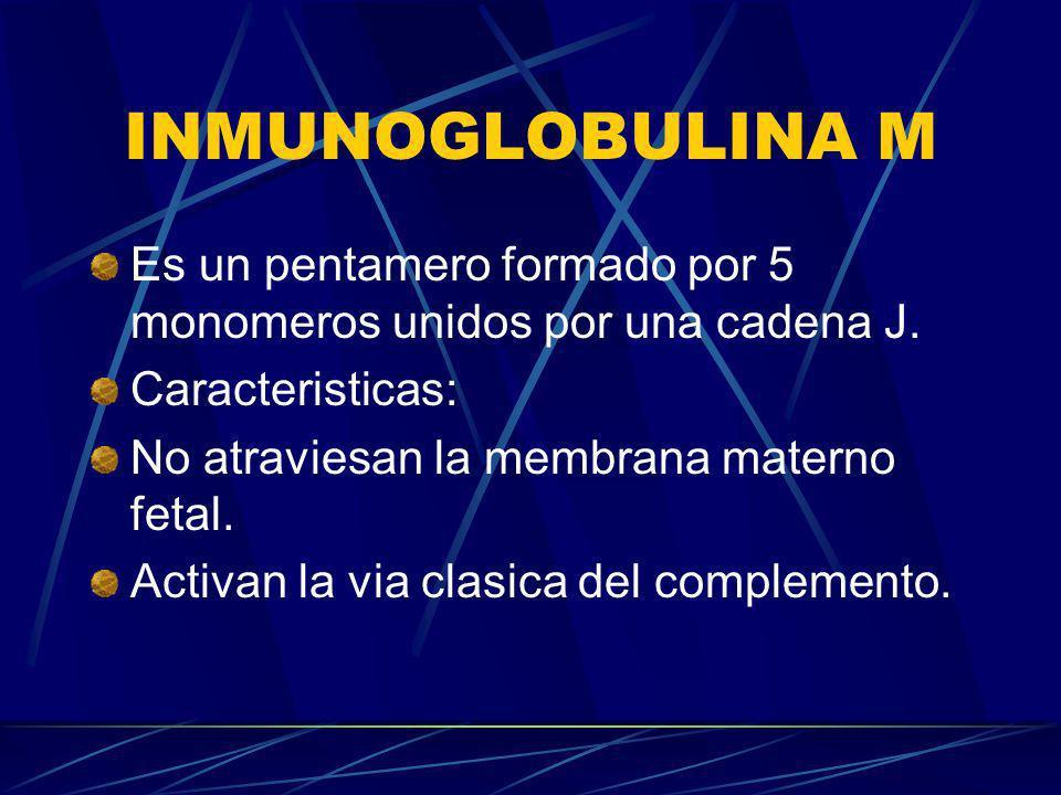 INMUNOGLOBULINA M Es un pentamero formado por 5 monomeros unidos por una cadena J. Caracteristicas: No atraviesan la membrana materno fetal. Activan l