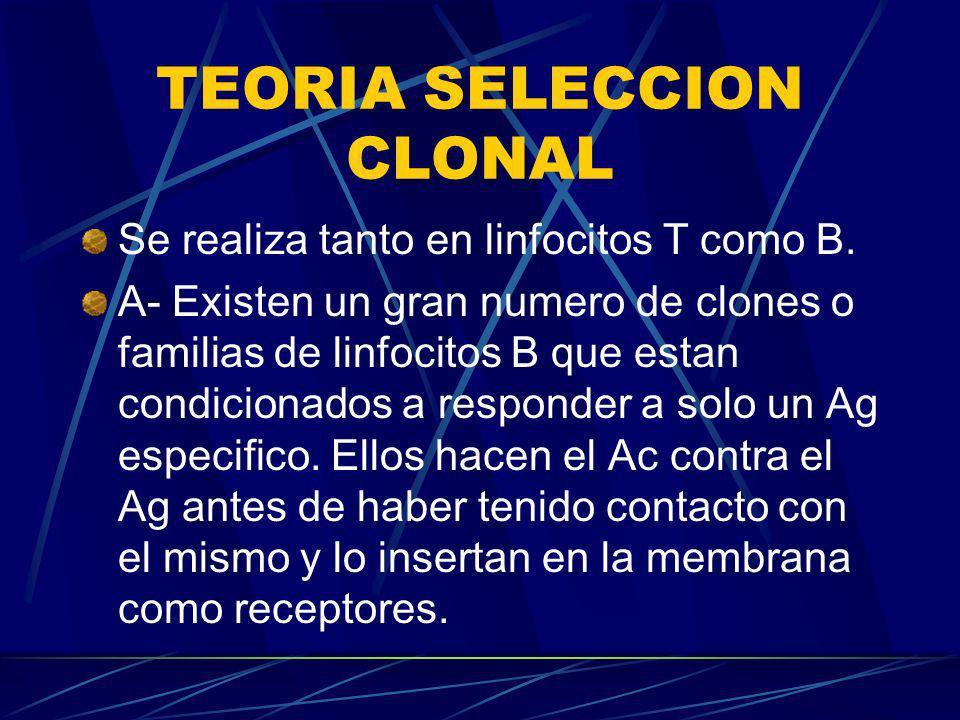 TEORIA SELECCION CLONAL Se realiza tanto en linfocitos T como B. A- Existen un gran numero de clones o familias de linfocitos B que estan condicionado