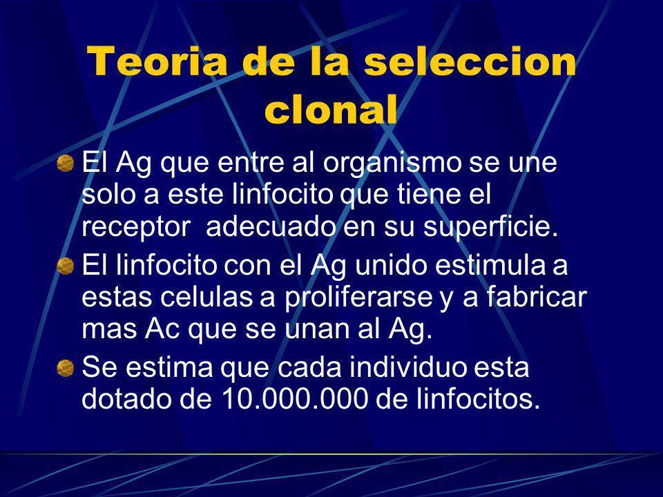 Teoria de la seleccion clonal El Ag que entre al organismo se une solo a este linfocito que tiene el receptor adecuado en su superficie. El linfocito