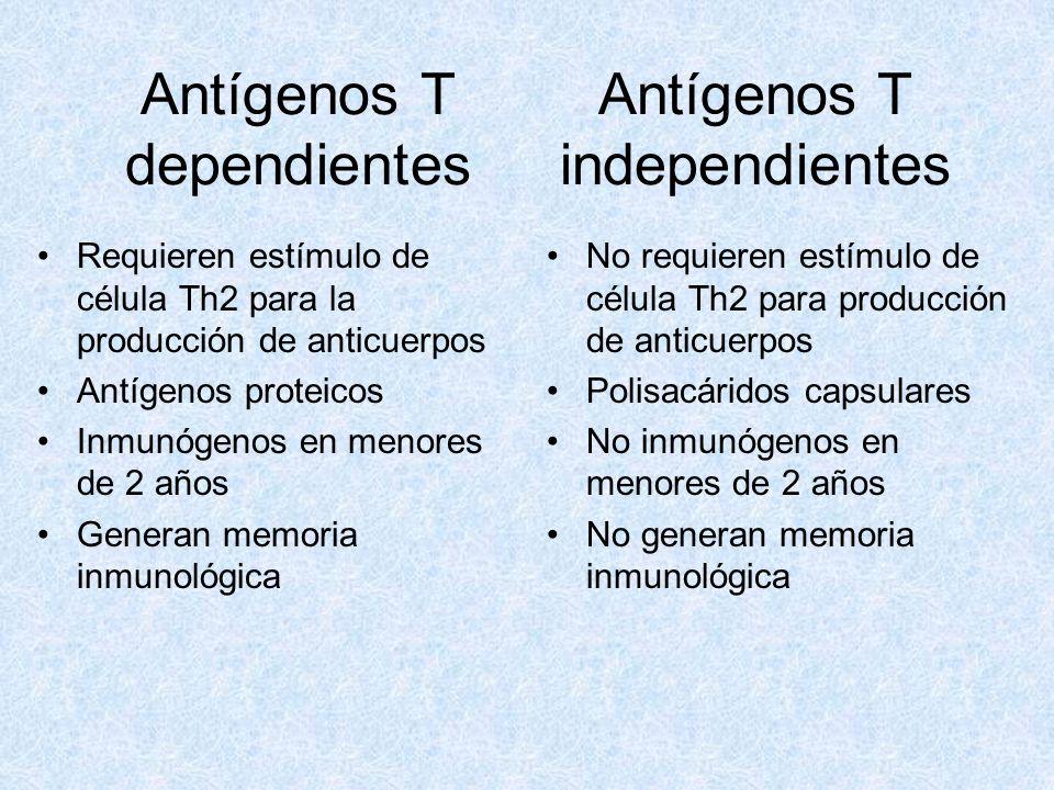 Antígenos T dependientes Requieren estímulo de célula Th2 para la producción de anticuerpos Antígenos proteicos Inmunógenos en menores de 2 años Gener