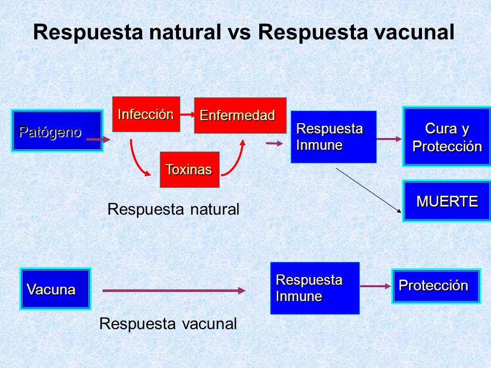 Patógeno RespuestaInmune Cura y Protección Enfermedad Toxinas Vacuna RespuestaInmune Protección Infección Respuesta natural vs Respuesta vacunal MUERT
