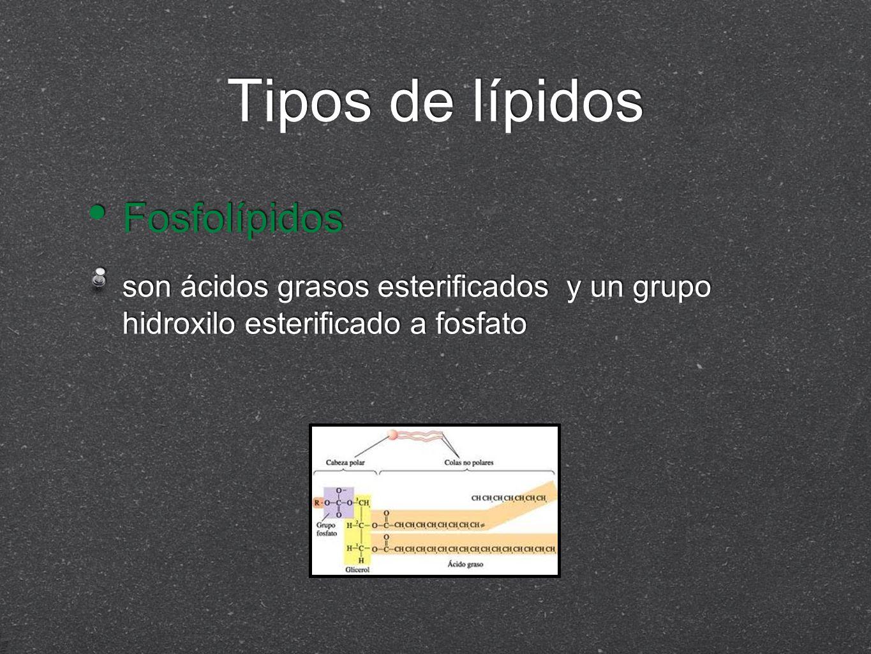 Tipos de lípidos Fosfolípidos son ácidos grasos esterificados y un grupo hidroxilo esterificado a fosfato Fosfolípidos son ácidos grasos esterificados