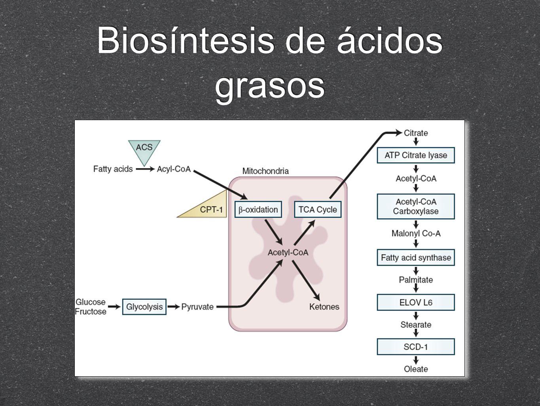 Metabolismo de triglicéridos Fuente dietética son digeridos en estómago e intestino delgado proximal TG Lipasa pancreática Ac Grasos Sales biliares forman un micelio con los acidos grasos y se absorbe por enterocito, se reesterifica y forman lipoproteínas que viajan a través de sistema linfático Fuente dietética son digeridos en estómago e intestino delgado proximal TG Lipasa pancreática Ac Grasos Sales biliares forman un micelio con los acidos grasos y se absorbe por enterocito, se reesterifica y forman lipoproteínas que viajan a través de sistema linfático