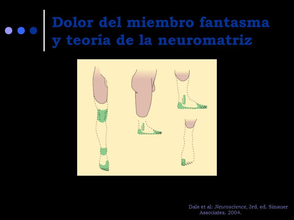 Dolor del miembro fantasma y teoría de la neuromatriz Dale et al: Neuroscience, 3rd. ed. Sinauer Associates, 2004.