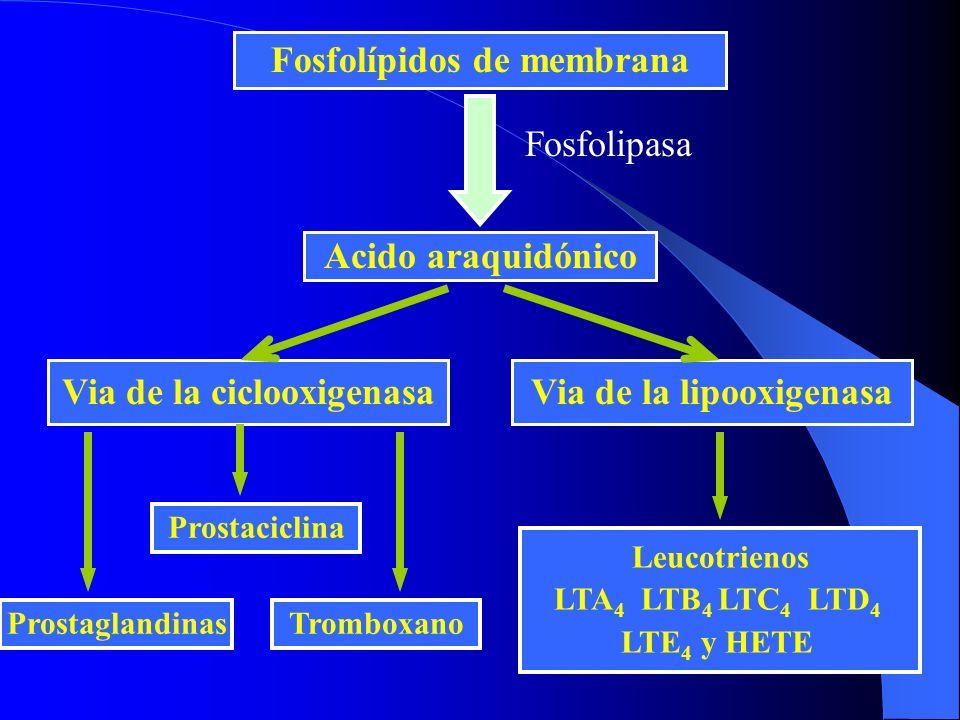 Fosfolípidos de membrana Acido araquidónico Fosfolipasa Via de la ciclooxigenasaVia de la lipooxigenasa Leucotrienos LTA 4 LTB 4 LTC 4 LTD 4 LTE 4 y H