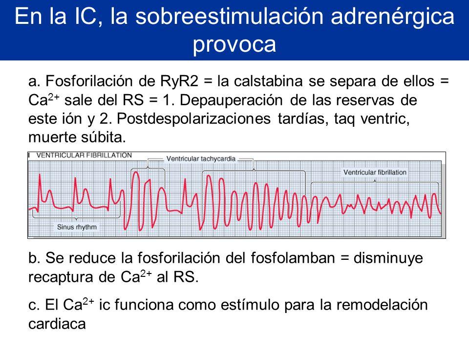 En la IC, la sobreestimulación adrenérgica provoca a. Fosforilación de RyR2 = la calstabina se separa de ellos = Ca 2+ sale del RS = 1. Depauperación