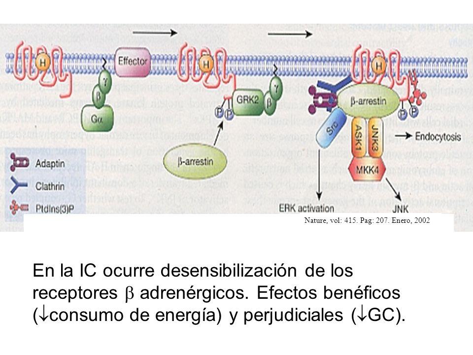 Nature, vol: 415. Pag: 207. Enero, 2002 En la IC ocurre desensibilización de los receptores adrenérgicos. Efectos benéficos ( consumo de energía) y pe
