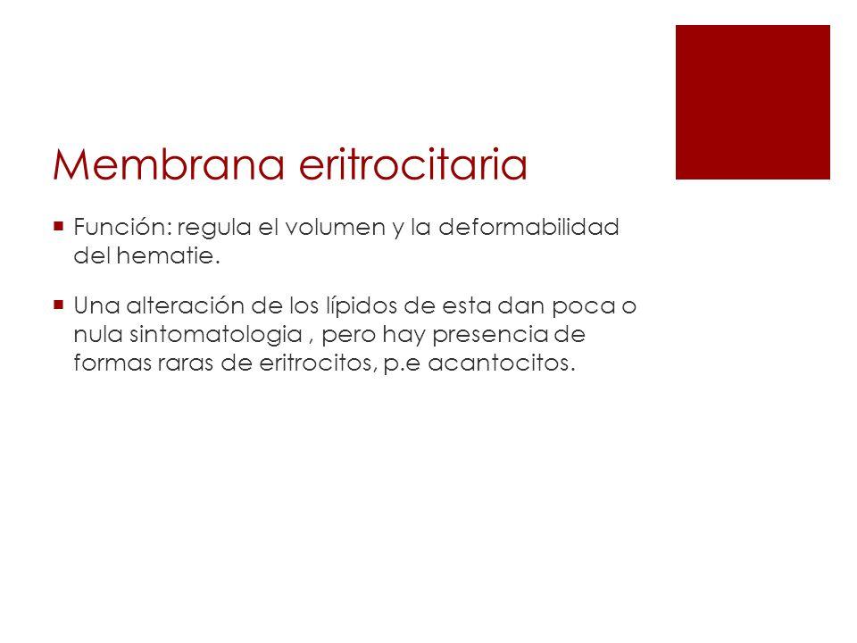 Membrana eritrocitaria Función: regula el volumen y la deformabilidad del hematie. Una alteración de los lípidos de esta dan poca o nula sintomatologi